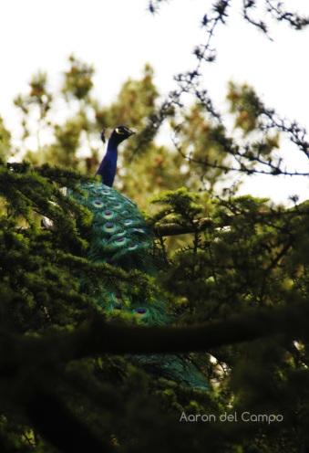 ¿Sabíais que los pavos reales vuelan? Yo no. Imaginar al verlo en lo alto de un árbol.